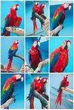 Ara parrots Stock Images