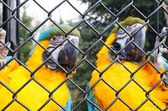 Ara parrots Royalty Free Stock Photo