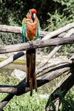 Front portrait of a multicolored parrot royalty free stock photography