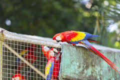 Ara parrots in zoo Stock Image