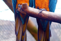 Ara pazury Fotografia Royalty Free
