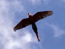 Ara. Portrait of a flying ara Royalty Free Stock Photos