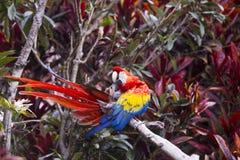 Ara ptak preening podczas gdy siedzący na gałąź w tropikalnym lesie deszczowym Fotografia Stock