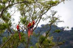 Ara ptaki w drzewie w tropikalnym lesie deszczowym Zdjęcia Royalty Free