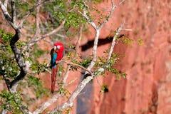 Ara rossa e verde, Ara Chloropterus, Buraco Das Araras, vicino alla sarda, Pantanal, Brasile fotografia stock libera da diritti