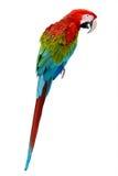 Ara rossa variopinta del pappagallo Fotografie Stock Libere da Diritti