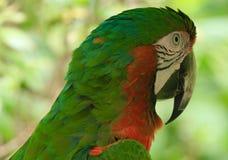 ara Rosso-incoronata, esotica, uccello, pappagallo di Amazon, specie Immagine Stock Libera da Diritti