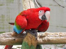 Ara Rossoverde. Large neotropical parrot with vivid colors seen closely Royalty Free Stock Image