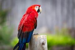 Ara rouge Image stock