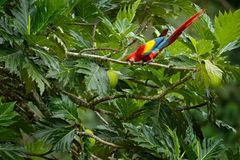 Ara rouge d'écarlate de perroquet, arums Macao, sittin d'oiseaux sur la branche avec la nourriture, Brésil Scène d'amour de faune Photo libre de droits