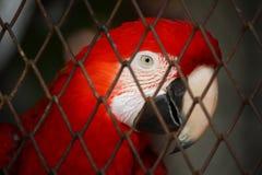 Ara rouge dans la cage à oiseaux Image libre de droits