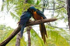 Ara's die zich aan boomtak vastklampen Stock Afbeeldingen