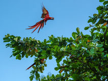 Ara Verde-con alas del Macaw - Costa Rica Fotos de archivo libres de regalías