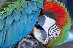 Ara verde e rossa variopinta dell'uccello del pappagallo, Fotografia Stock