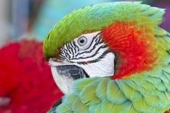 Ara verde e rossa variopinta dell'uccello del pappagallo, Immagini Stock