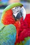 Ara verde e rossa variopinta dell'uccello del pappagallo, fotografia stock libera da diritti
