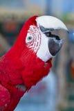 Ara verde e rossa variopinta dell'uccello del pappagallo, Fotografie Stock Libere da Diritti