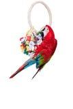 ara vert rouge sur le fond blanc Image libre de droits