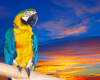 Ara viridipenne contre le lever de soleil Images libres de droits