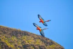 Ara w bezpłatnym locie w egzotycznych ptakach pokazuje przy Palmitos parkiem w Maspalomas, Gran Canaria, Hiszpania zdjęcie stock