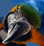Ara, Yellow Macaw, Parrot, Bird Stock Images