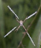Araña, cruz del St Andrewâs Fotografía de archivo
