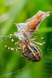 Araña de la avispa Imagenes de archivo