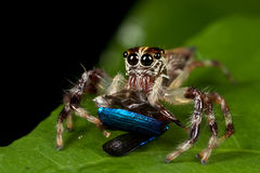 Araña de salto que come el escarabajo Fotos de archivo libres de regalías