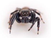 Araña de salto, Salticidae - macro Imagen de archivo libre de regalías