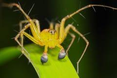 Araña del lince Imagenes de archivo
