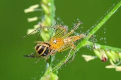 Araña del lince que come una abeja en el parque Foto de archivo