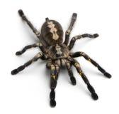 Araña del Tarantula, Poecilotheria Metallica Foto de archivo