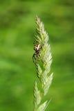 Araña en tallo de la hierba Imagenes de archivo