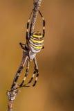 Araña en una rama que espera para cazar con el gran detalle, amarillo, blanco y negro Imagen de archivo libre de regalías