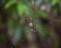 Araña que teje del orbe de seda de oro que espera en su web Fotos de archivo libres de regalías