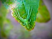 Araña verde del lince Fotos de archivo