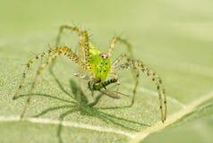Araña verde del lince Fotografía de archivo libre de regalías