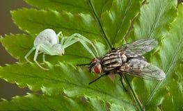 Araña y mosca del cangrejo Foto de archivo libre de regalías