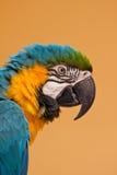 araararauna Fotografering för Bildbyråer