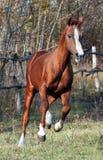 Arab-Budenovskaya breed Royalty Free Stock Image