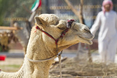 Arab and camel in dubai,United Arab Emirates Stock Photography