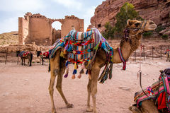Arab camels in the ancient city of Petra, Jordan Royalty Free Stock Images