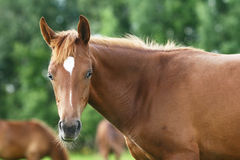 Arab colt Stock Photography