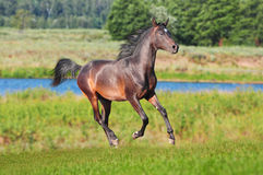 Arab colt runs free Stock Photography