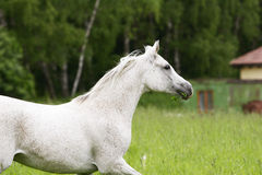 Arab horse Royalty Free Stock Photos
