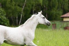 Arab horse. Trotting on field Royalty Free Stock Photos