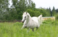 Arab horse. Trotting on field Stock Photo