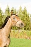 Arab horse Stock Photo