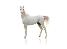 Arab horse. White arab horse isolated on white Stock Photography