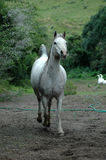 Arab horse Stock Images